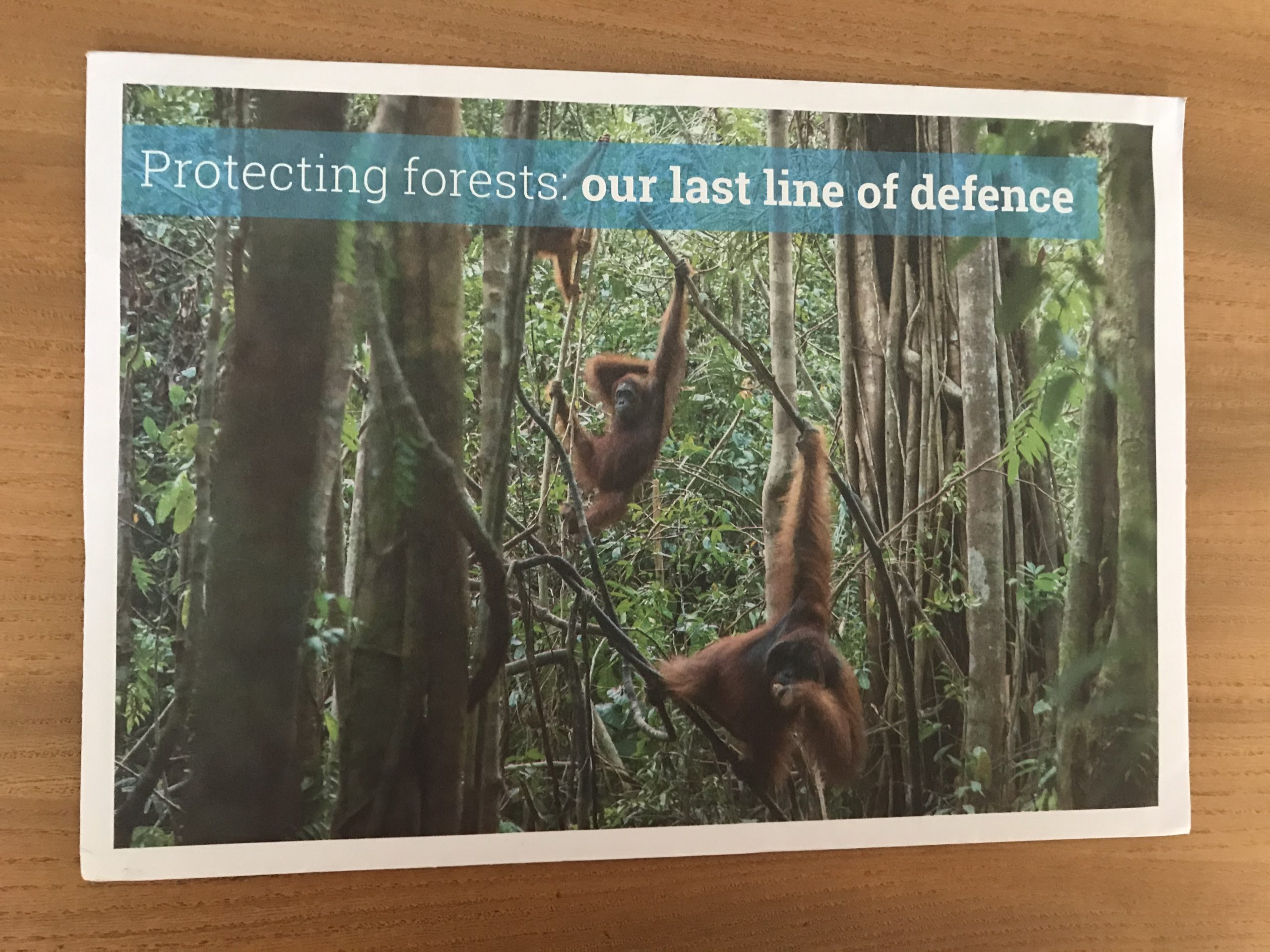 Orangutans in the Indonesian rainforest: part of an appeal for the Environmental Investigation Agency